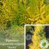 """Бірючина (Ligustrum vulgare) """"Aurea"""" 0,5 м: ЕКО-УКРАЇНА"""