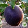 """Гібридний абрикос """"Чорний Принц"""" : купити в ЕКО-КРАЇНА"""