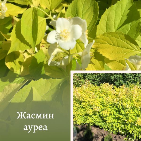 Жасмин ауреа 1,3-1,5 м крупномір: купити в Україні в ЕКО-КРАЇНА