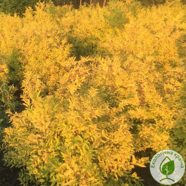"Бірючина (Ligustrum vulgare) ""Aurea"" на штамбі"