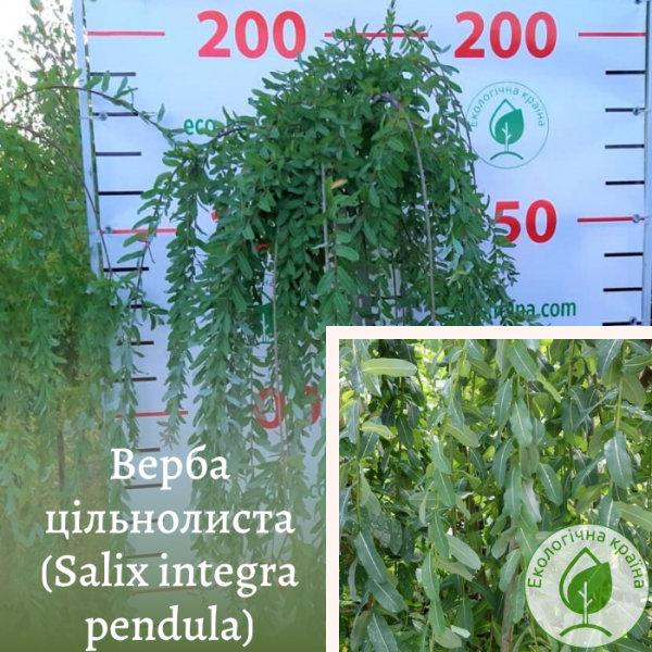Верба цільнолиста (Salix integra pendula)