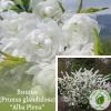 "Вишня (Prunus glandulosa) ""Alba Plena"" 0,5-0,8 м"