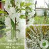 "Вишня (Prunus glandulosa) ""Alba Plena"" на штамбі 2 м - ЕКО-КРАЇНА"