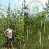 Береза бородавчаста 1,7-2 м: купити декоративні дерева ЕКО-КРАЇНА