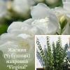 """Жасмин (Чубушник) махровий """"Virginal"""" крупномір в ЕКО-КРАЇНА"""