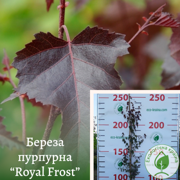 "Береза пурпурна ""Royal Frost"" 2,5-3 м: купити в ЕКО-КРАЇНА"