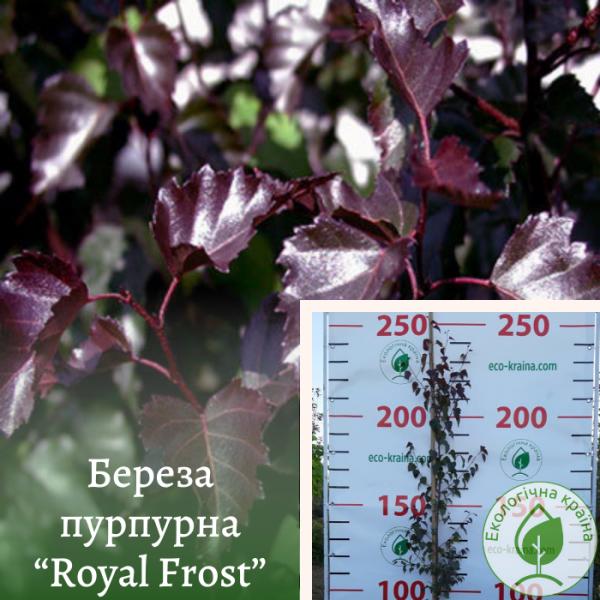 "Береза пурпурна ""Royal Frost"" 2-2,5 м: купити в ЕКО-КРАЇНА"
