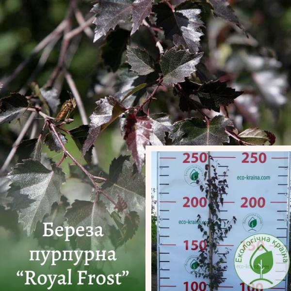 "Береза пурпурна ""Royal Frost"" 2-2,5 м (ВКС)"