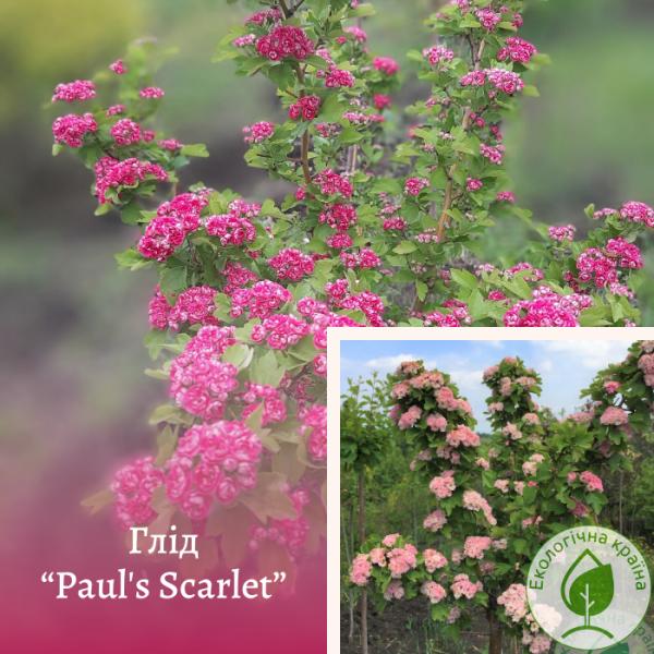 """Глід """"Paul's Scarlet"""" (махровий) на штамбі 1,5 м - ЕКО-КРАЇНА"""