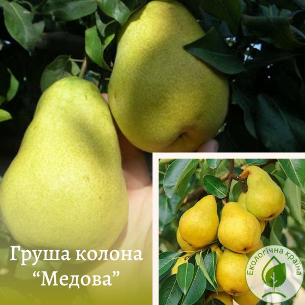 """Груша плодова колона """"Медова"""" 2-річка - ЕКО-КРАЇНА"""