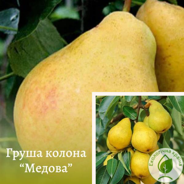 """Груша плодова колона """"Медова"""" 3-річка 0,5-0,6 м - ЕКО-КРАЇНА"""