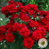 Троянда Cordula (Кордула) - розсадник ЕКО-КРАЇНА
