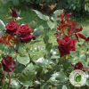 Троянда Black Baccara (Блек Баккара) - розсадник ЕКО-КРАЇНА