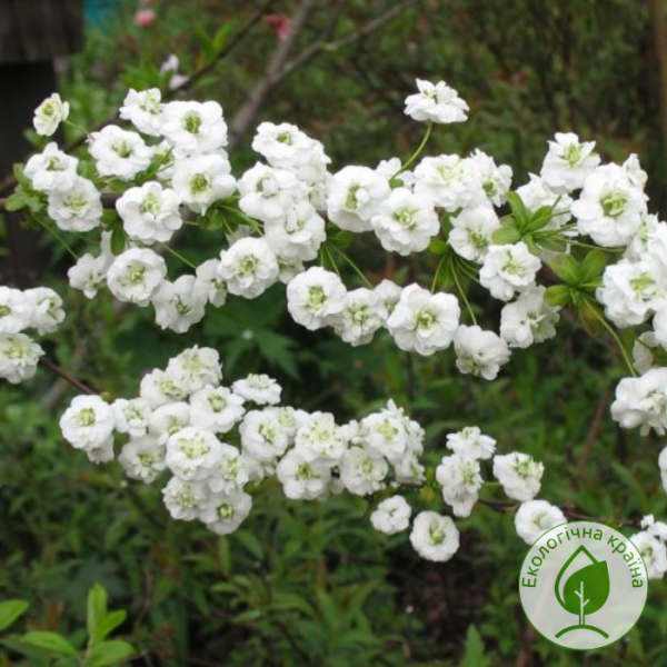 "Спірея сливолиста (prunifolia) ""Plena"" 0,3-0,4 м - ЕКО-КРАЇНА"