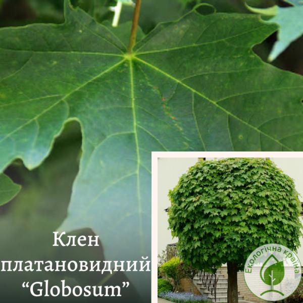 """Клен платановидний """"Globosum"""""""