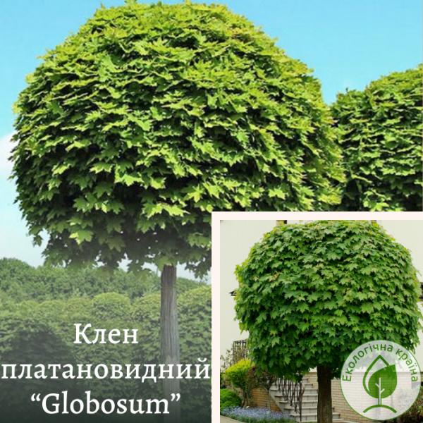 "Клен платановидний ""Globosum"" 2 м"