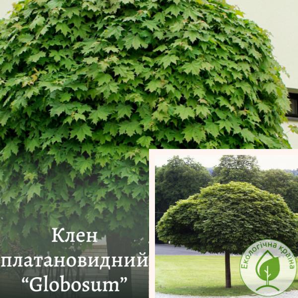 "Клен платановидний ""Globosum"" 2,5 м"