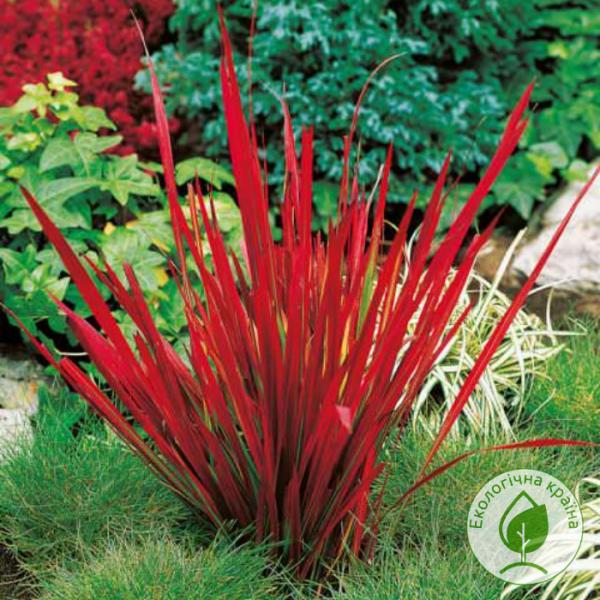 """Імперата """"Red Baron"""" - розсадник і садовий центр ЕКО-КРАЇНА"""