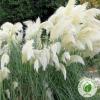 Картодерія White plume (біла) - розсадник ЕКО-КРАЇНА