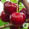 """Вишня """"Чудо вишня"""" - розсадник і садовий центр ЕКО-КРАЇНА"""