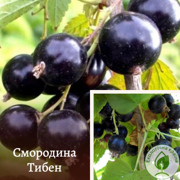 "Смородина чорна ""Тибен"" - розсадник ЕКО-КРАЇНА"