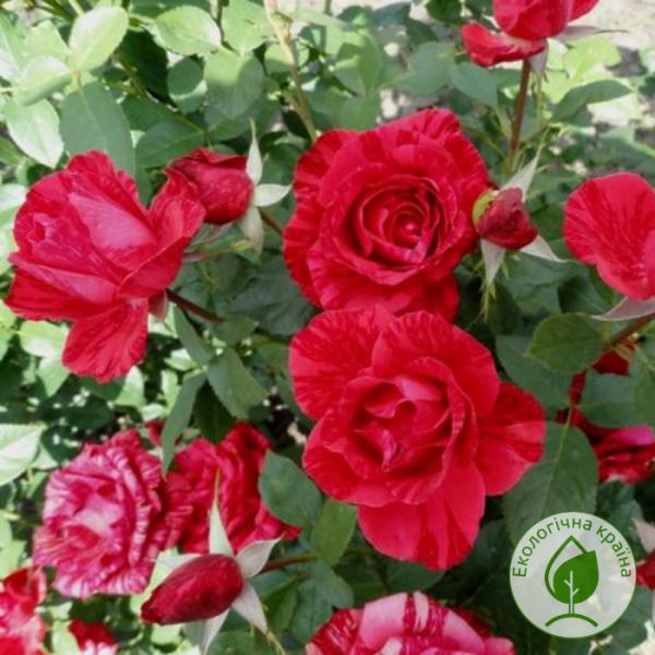 Троянда Red Intuition (Ред Інтуішин) - розсадник ЕКО-КРАЇНА
