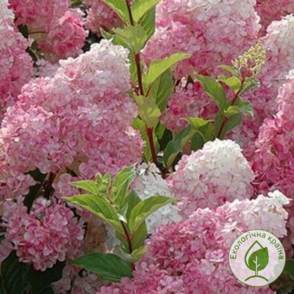 Гортензія Touch of Pink (карликова) - розсадник ЕКО-КРАЇНА