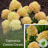 Гортензія Cotton Cream 3-річка 0,2-0,4 м - розсадник ЕКО-КРАЇНА