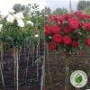роза штамбова еко-країна