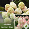 Гортензія Summer Love 3-річка 0,2-0,4 м - розсадник ЕКО-КРАЇНА