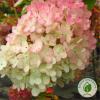 Гортензія Grandiflora - розсадник ЕКО-КРАЇНА