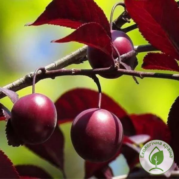 "Слива (Prunus cerasifera) ""Pissardii"" - розсадник Еко-Країна"