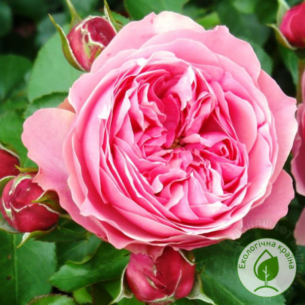 Троянда Leonardo da Vinci - розсадник ЕКО-КРАЇНА