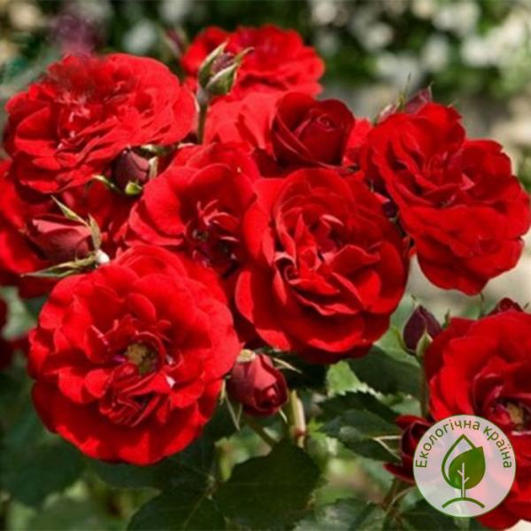 Троянда Сачмо - розсадник ЕКО-КРАЇНА