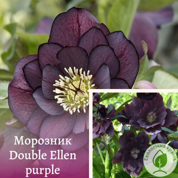 """Морозник """"Double Ellen purple"""" - розсадник ЕКО-КРАЇНА"""