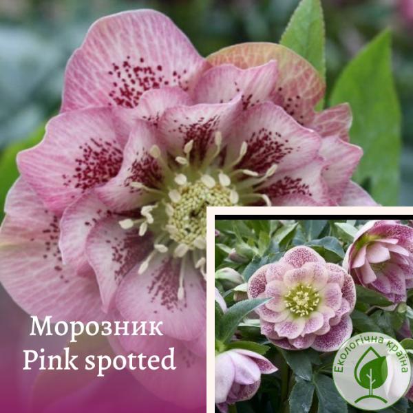 "Морозник ""Pink spotted"" - розсадник ЕКО-КРАЇНА"
