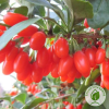 "Годжі ""Sweet Lifeberry"" - розсадник Еко-Країна"