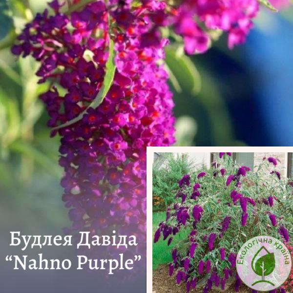 Будлея Давіда «Nahno Purple» 3-річка - розсадник ЕКО-КРАЇНА