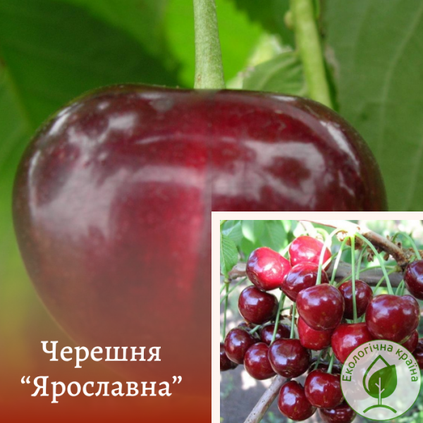 "Черешня ""Ярославна"" - розплідник ЕКО-КРАЇНА"