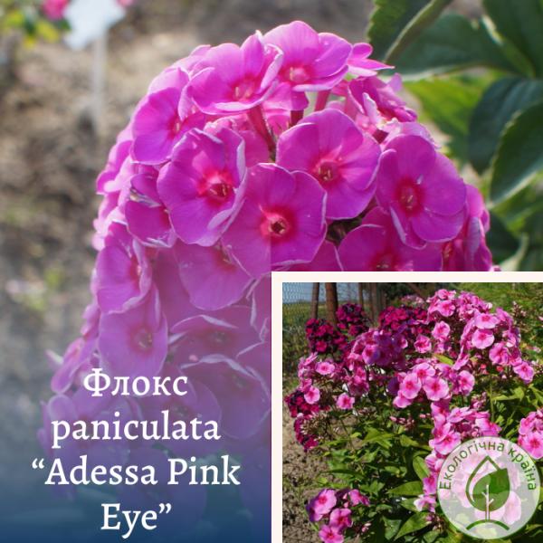 "Флокс paniculata""Adessa Pink Eye"" - інтернет-магазин ЕКО-КРАЇНА"