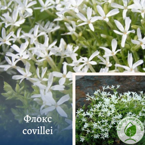 Флокс covillei - інтернет-магазин ЕКО-КРАЇНА