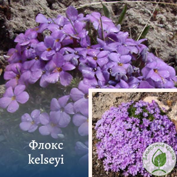 Флокс kelseyi - інтернет-магазин ЕКО-КРАЇНА