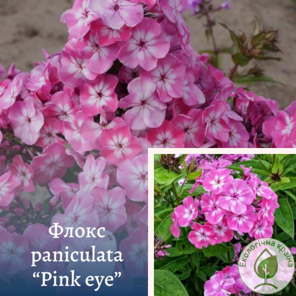 "Флокс paniculata ""Pink eye"" - інтернет-магазин ЕКО-КРАЇНА"
