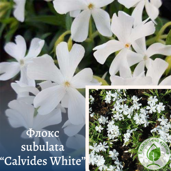 "Флокс subulata""Calvides White"" - інтернет-магазин ЕКО-КРАЇНА"