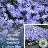 """Флокс subulata """"Emerald Cushion Blue"""" - інтернет-магазин ЕКО-КРАЇНА"""