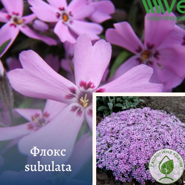 Флокс subulata - інтернет-магазин ЕКО-КРАЇНА