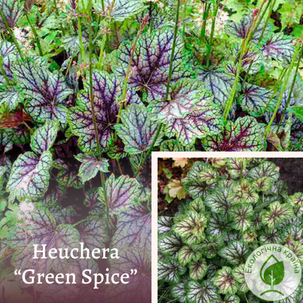 Heuchera ''green spise''