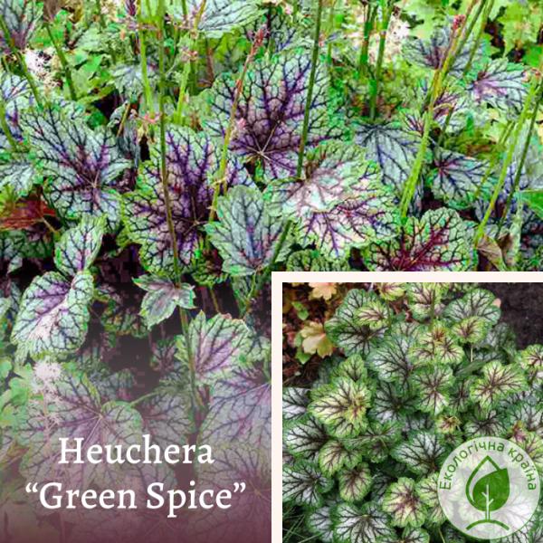 Heuchera ''green spise''