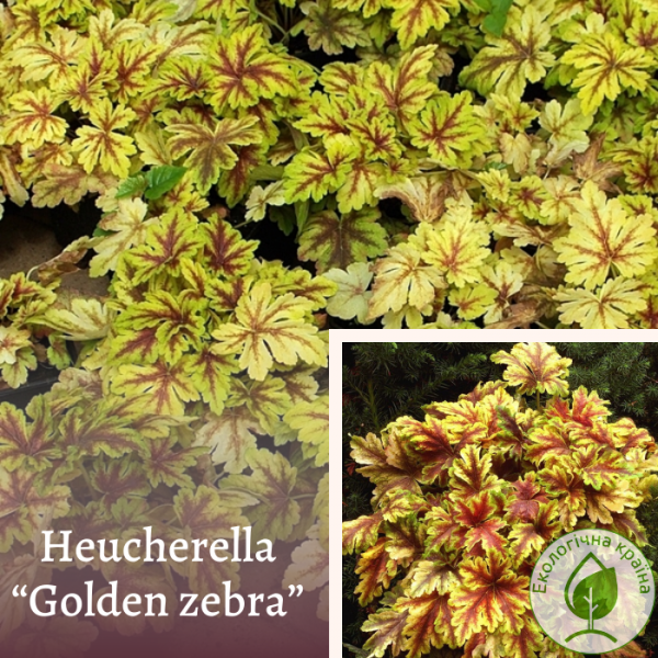 Heucherella ''golden zebra''