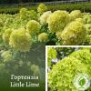 Гортензія Little Lime 3-річка 0,2-0,4 м - розсадник ЕКО-КРАЇНА